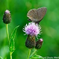 vlinder_MG_9675
